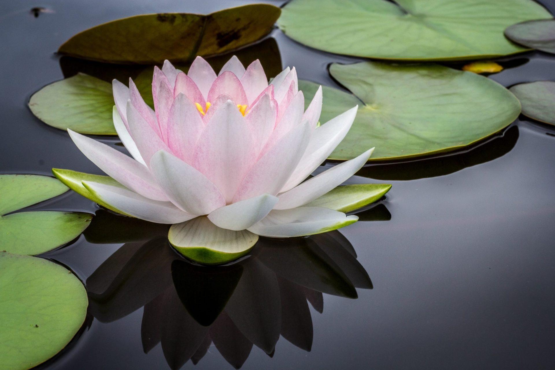 Indiase lotus ayurveda