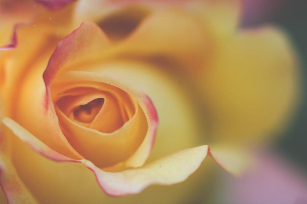 Rozenknop met bloemblaadjes als symbool voor natuurlijk zwanger zijn.